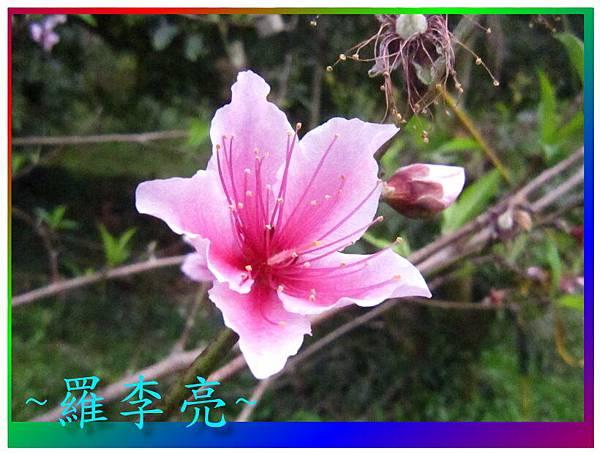 水蜜桃花 014.jpg