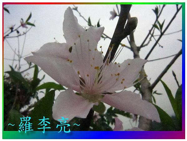 水蜜桃花 016.jpg