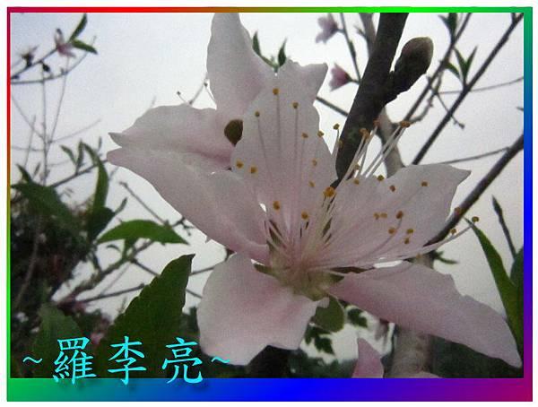 水蜜桃花 015.jpg