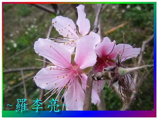 水蜜桃花 018.jpg