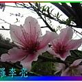 水蜜桃花 020.jpg