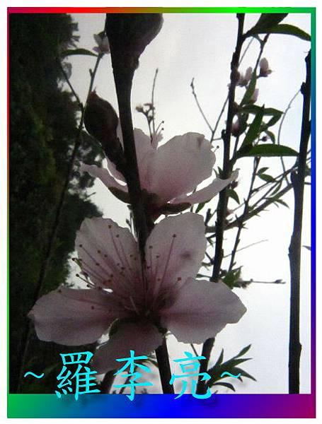 水蜜桃花 021.jpg