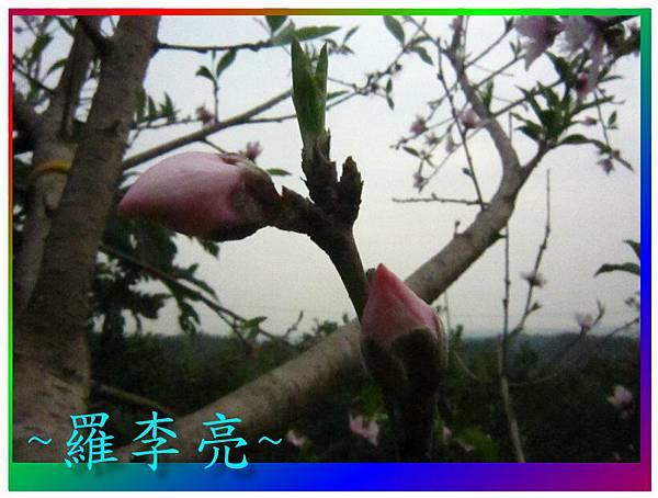 水蜜桃花 022.jpg