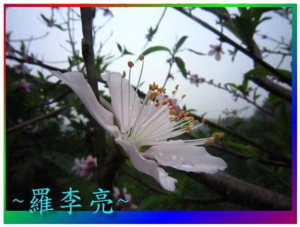 水蜜桃花 025.jpg