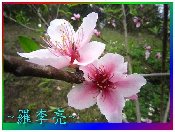 水蜜桃花 024.jpg