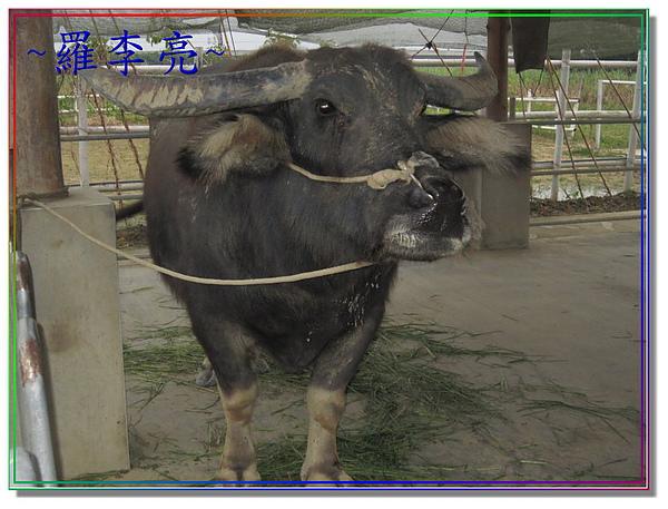 老牛的家 006.jpg