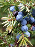 juniper-berry-large