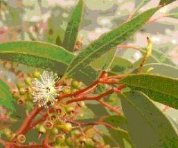 picEucalyptus