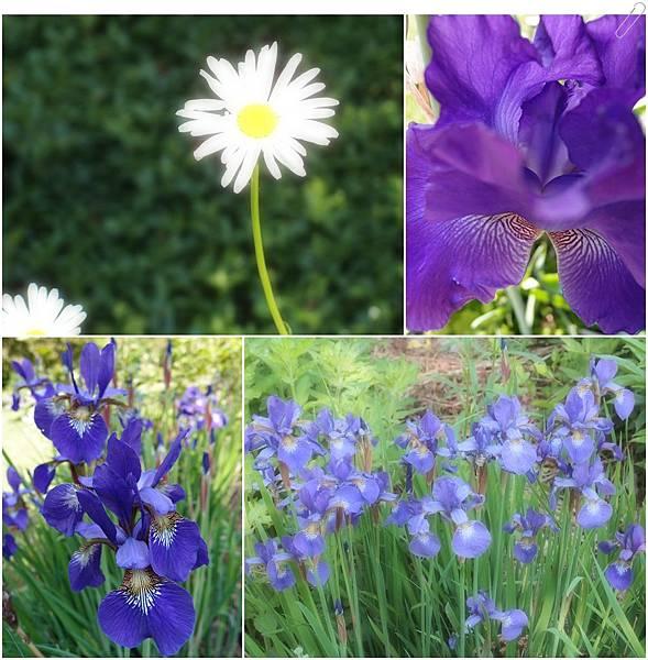 花園裡的鳶尾花