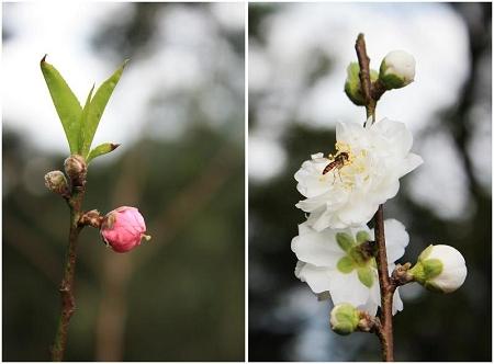 杏花2.jpg