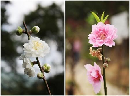 杏花3.jpg
