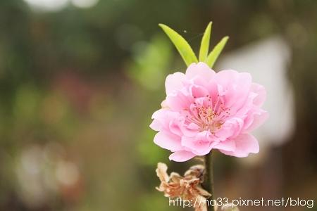 紅杏花.jpg