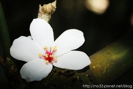 桐花2.jpg