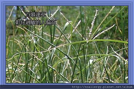 bermuda grass02
