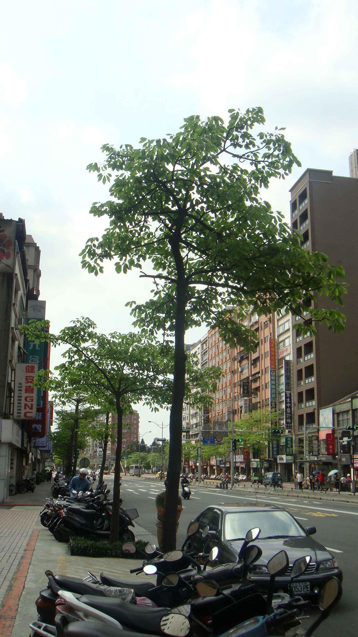 夏天的行道樹.JPG