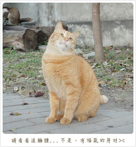 阿橘玩逗貓棒02.JPG