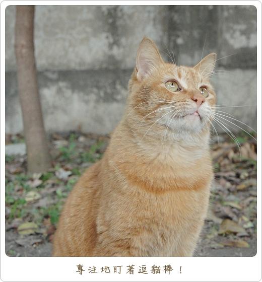 阿橘玩逗貓棒03.JPG