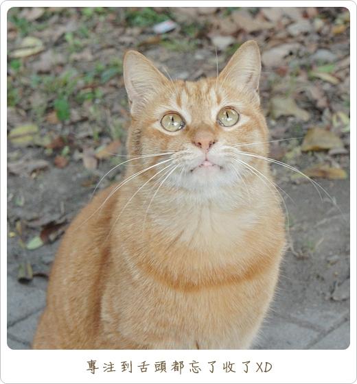 阿橘玩逗貓棒05.JPG