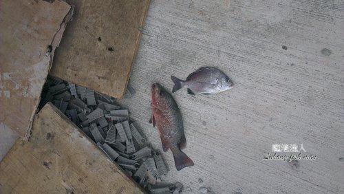 台北港南堤  紅曹 黑鯛