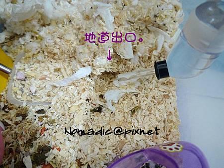 1/26,鼠們挖了地道從睡窩通往用餐區。