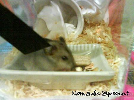 壽桃三號,吃飯中。