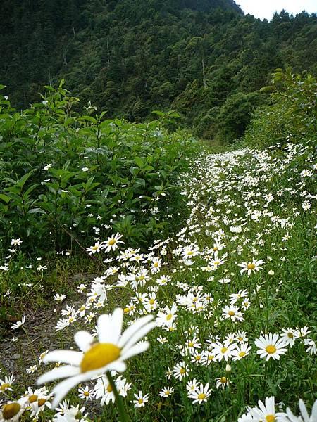 法國菊~~百年前寧靜的一個夜~傳教士在此留下了美麗(or 可怕)的種子..:P