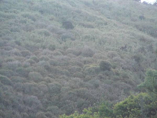 清晨在八通關看到水鹿..:P 叫聲頗為嘹喨O.O