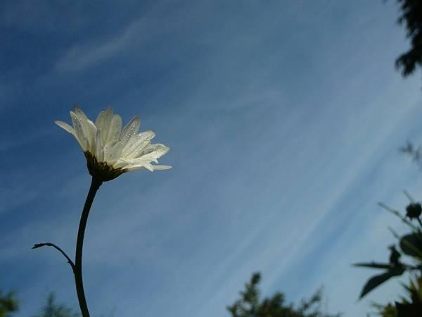法國菊~by 小鳥