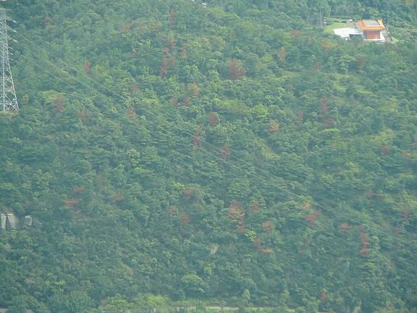 松樹感染松材線蟲之病害木