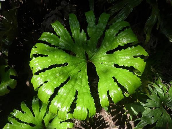 04雙扇蕨在侏儸紀即以出現,是相當古老的物種,常被叫活化石植物,在西方國家很少見到,當初一生都在研究雙扇蕨化石的西方學者(英國、瑞士、南非)到台灣來,發先台灣連野外都有自然生長,可是感動到跪下來了呢