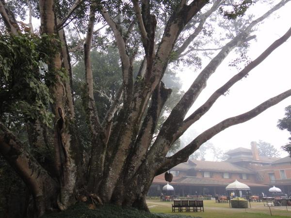 尼泊爾(15)~飯店大樹
