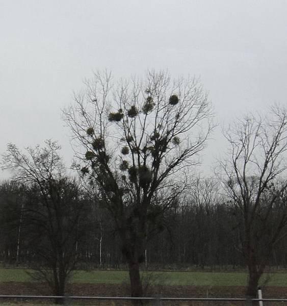 維也納-樹球1