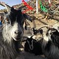 西藏(4)_3_地頭羊