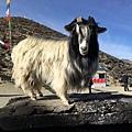 西藏(4)_10_領頭羊