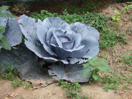 紫高麗菜.jpg
