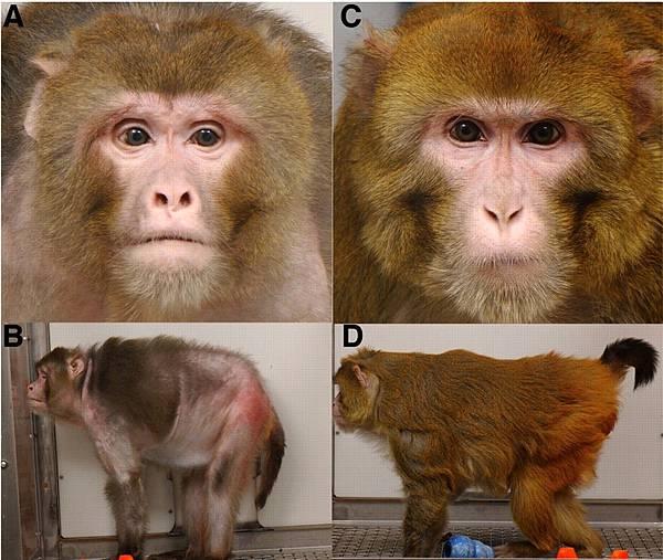 rhesus-monkeys-calorie-restriction1.jpg