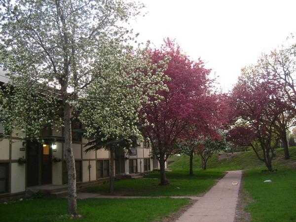 家前排的蘋果花