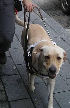 導盲犬、導聾犬傻傻分不清楚--導盲犬.JPG