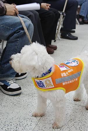 導盲犬、導聾犬傻傻分不清楚--導聾犬1.jpg