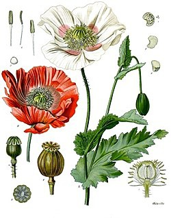 250px-Papaver_somniferum_-_Köhler–s_Medizinal-Pflanzen-102.jpg