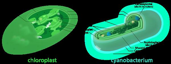 600px-Chloroplast-cyanobacterium_comparison.svg.png