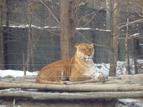 長的像老虎卻有獅子的斑紋