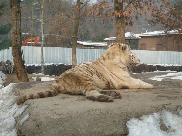 牠是白虎 -/-