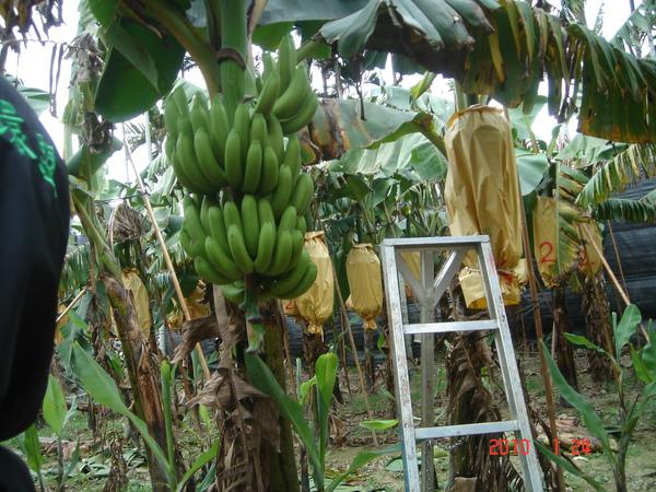 採香蕉2.JPG