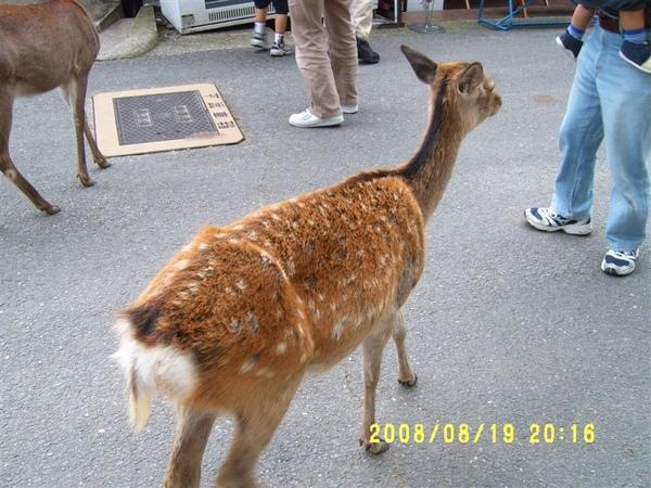 東大寺外可愛不怕人的梅花鹿