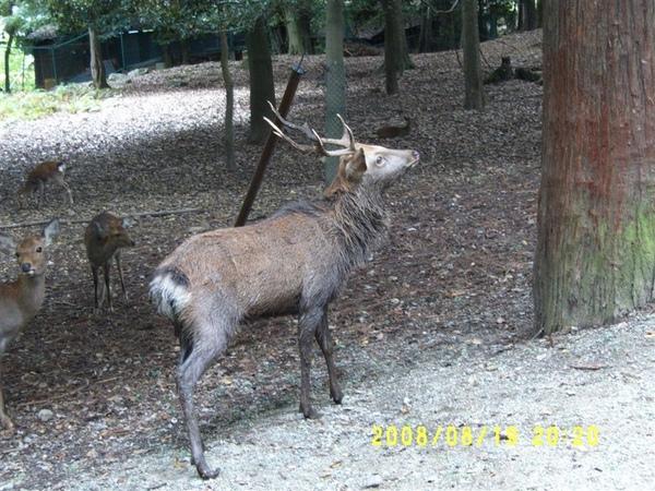 唯一看到有角的鹿