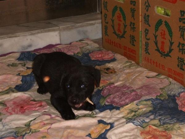 賣牛奶蜜棗那邊養的小黑狗