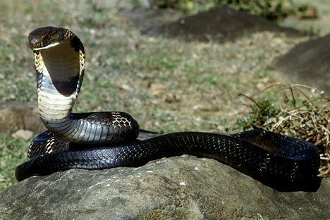 黑眼鏡蛇王.jpg