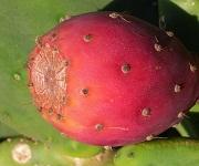 cactus_fruit1