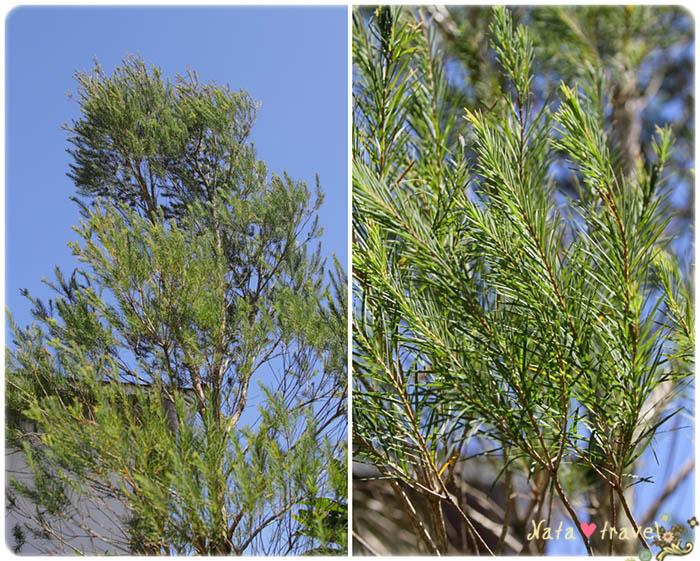 17.澳洲茶樹